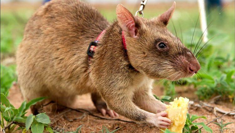 Mayın Arayan Akıllı Dev Afrika Sıçanları
