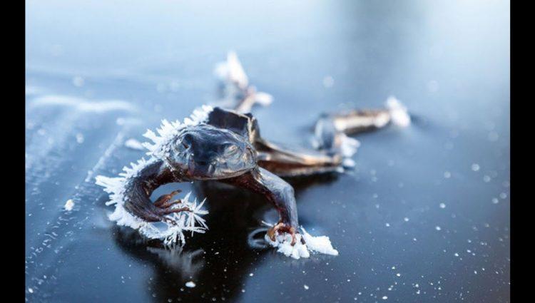Dondurucu Soğuklarda Hayatta Kalabilen 7 Muhteşem Canlı (-273 ° C Bile Onu Öldürmüyor)