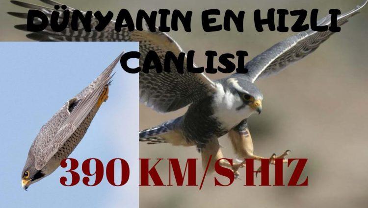 En Hızlı Canlı  | Hayvanlar Aleminin En Hızlısı Gökdoğan